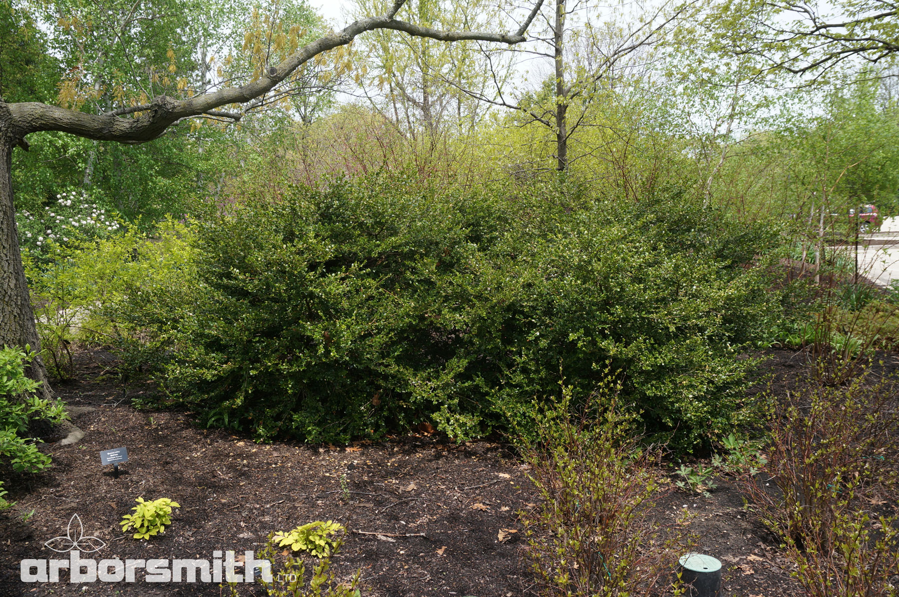 A naturally pruned Boxwood planting that suffered NO damage after the winter.