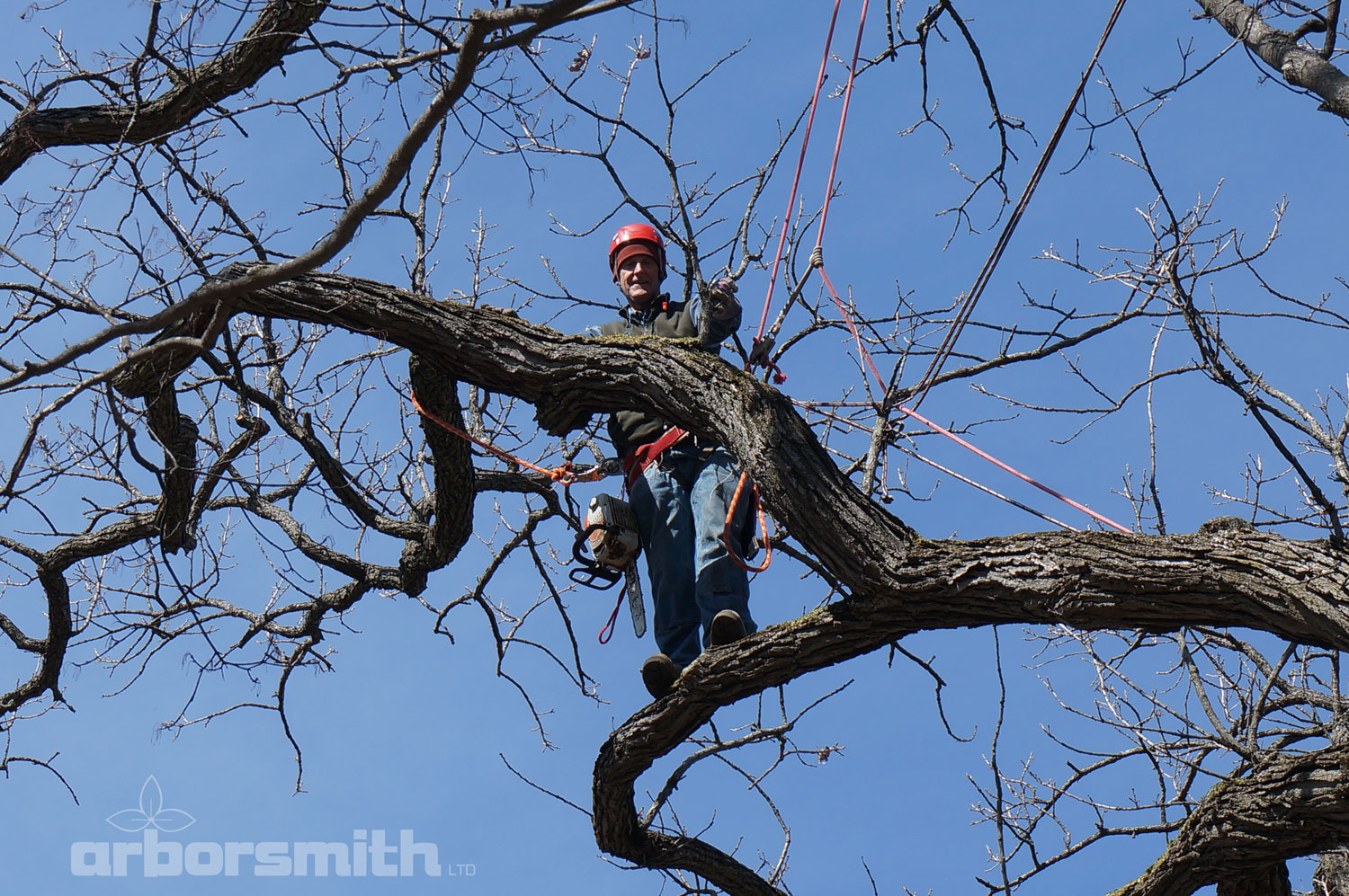 Gilbert A Smith, ISA Board Certified Master Arborist climbing and trimming a Burr Oak tree in the winter.