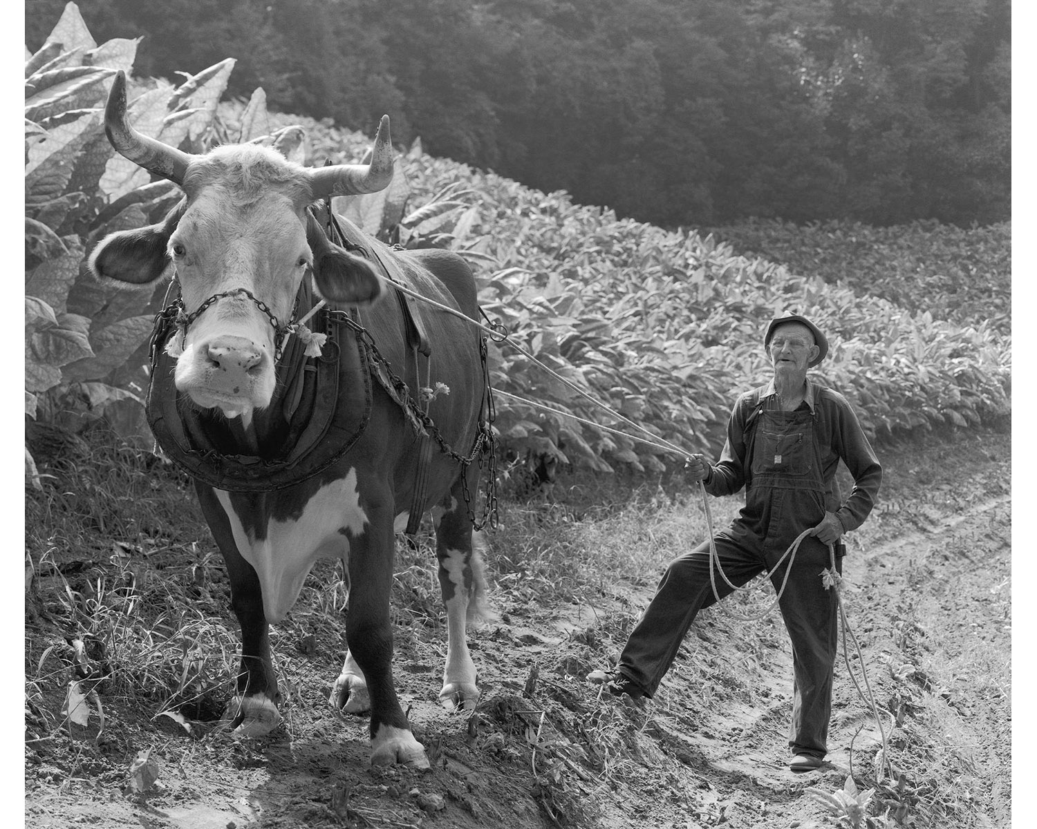 Collie Payne steer Berry plowing tobacco field Tim Barnwell Appalachian photographer