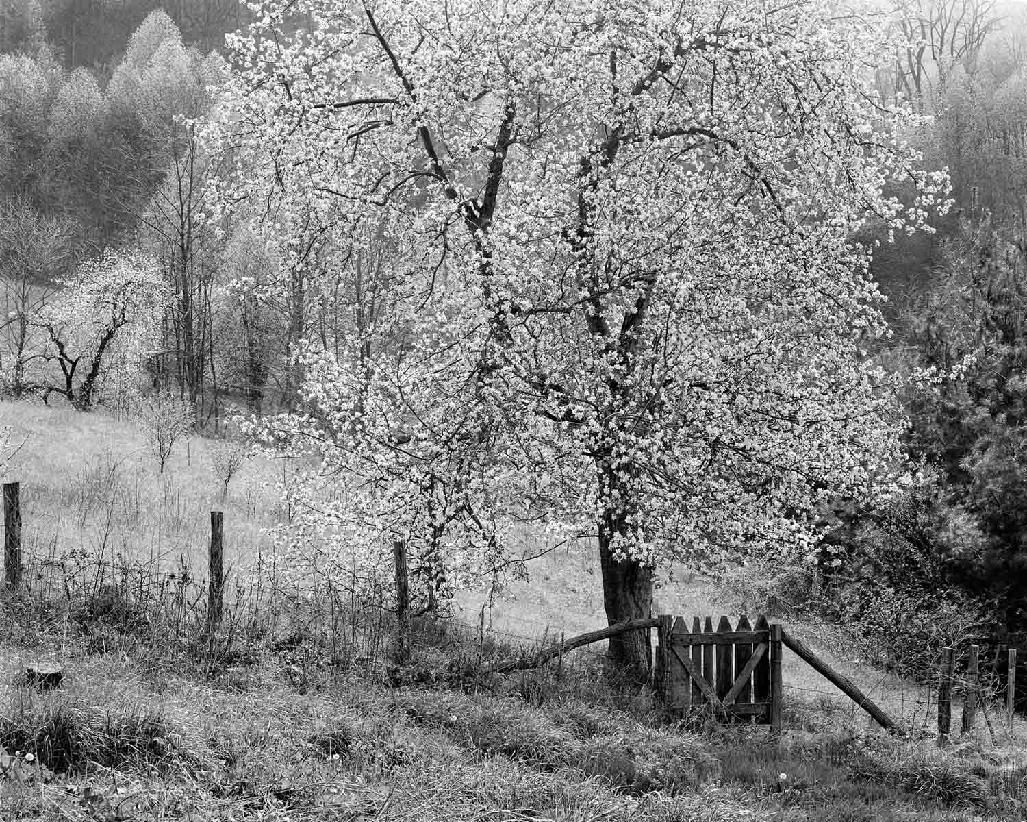 Apple Trees in bloom, Willow Creek, 1983 (page 35 in book)