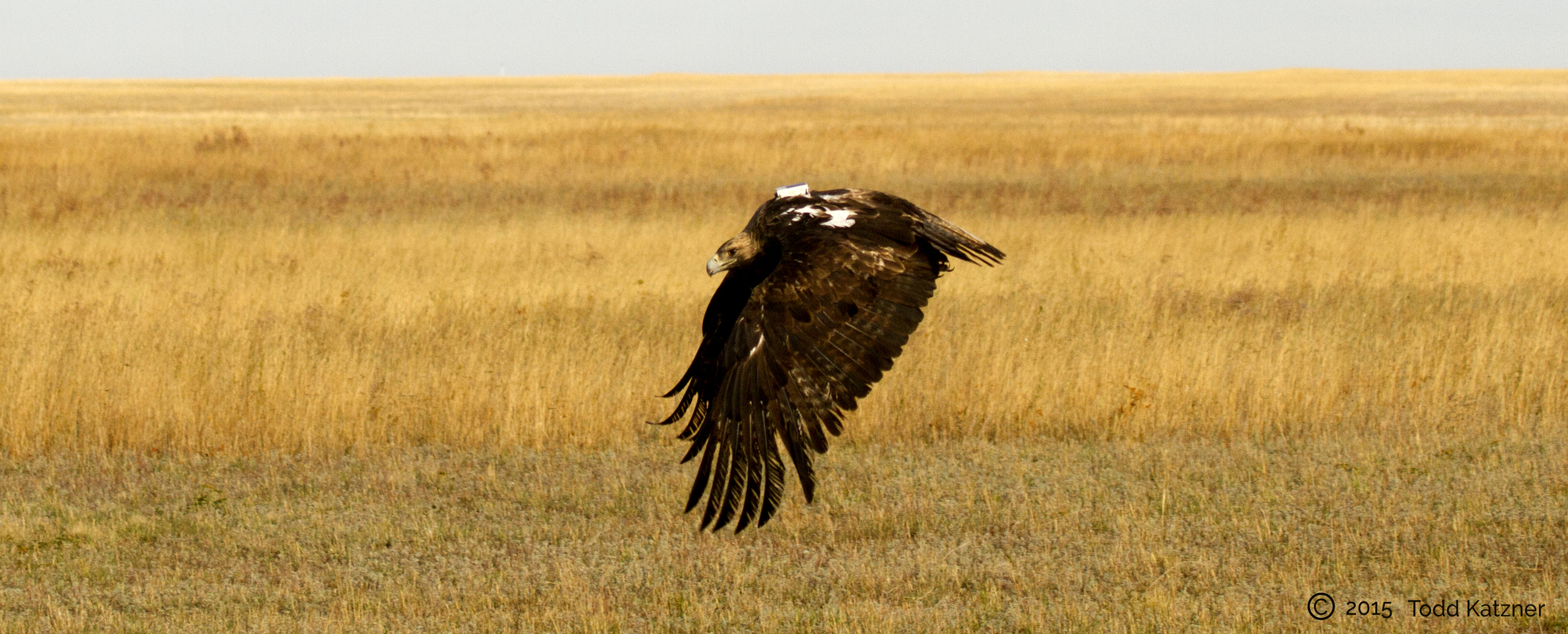 eagle in flight after being fitted with telemetry unit and banded for study.