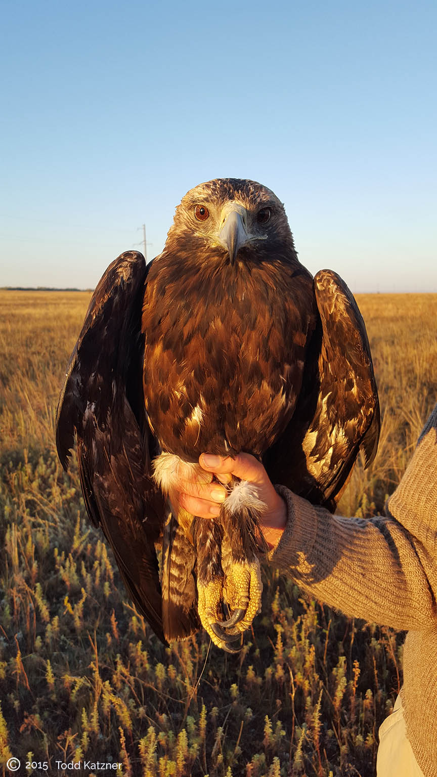 Adult male Imperial eagle