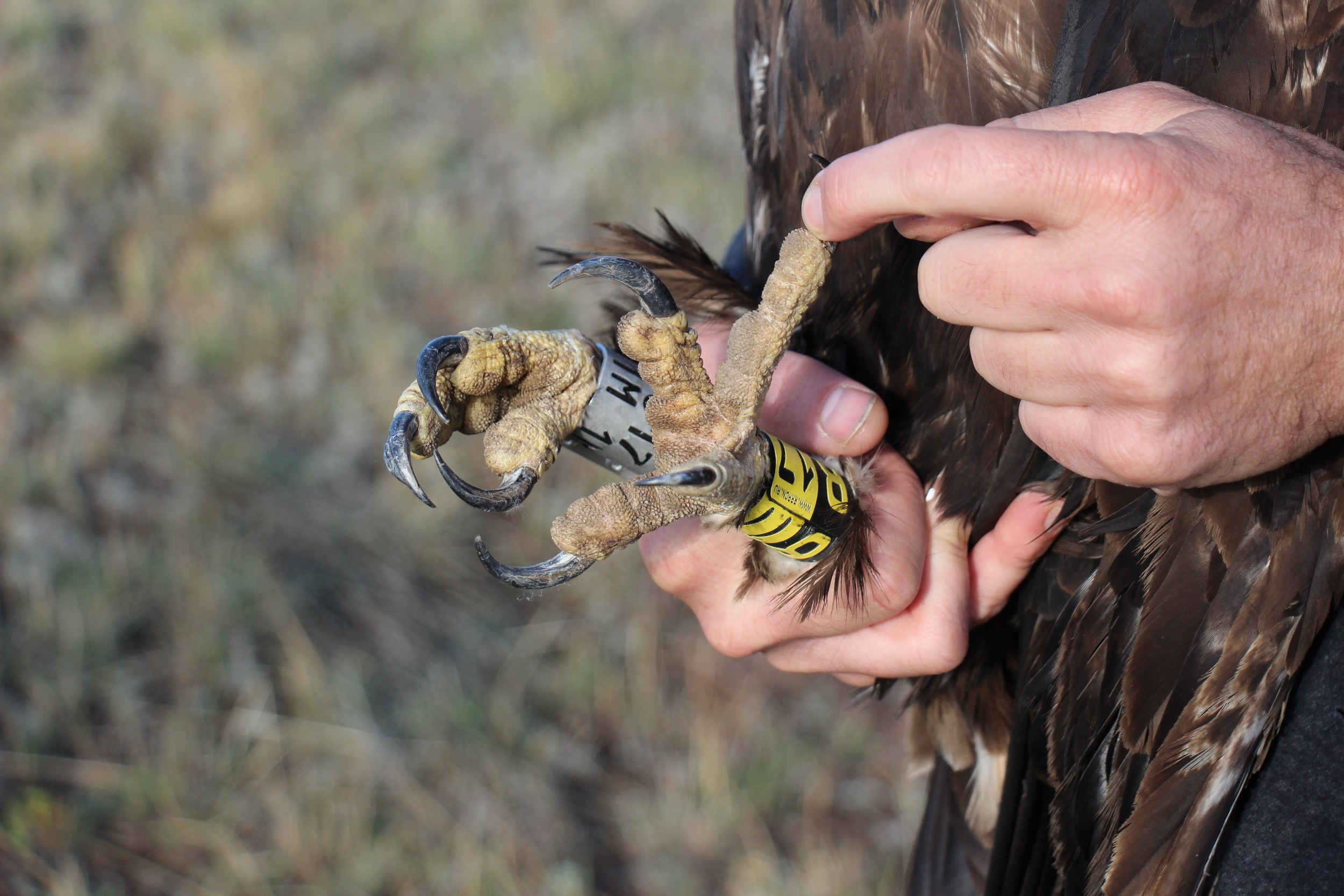 close-up of talons after banding