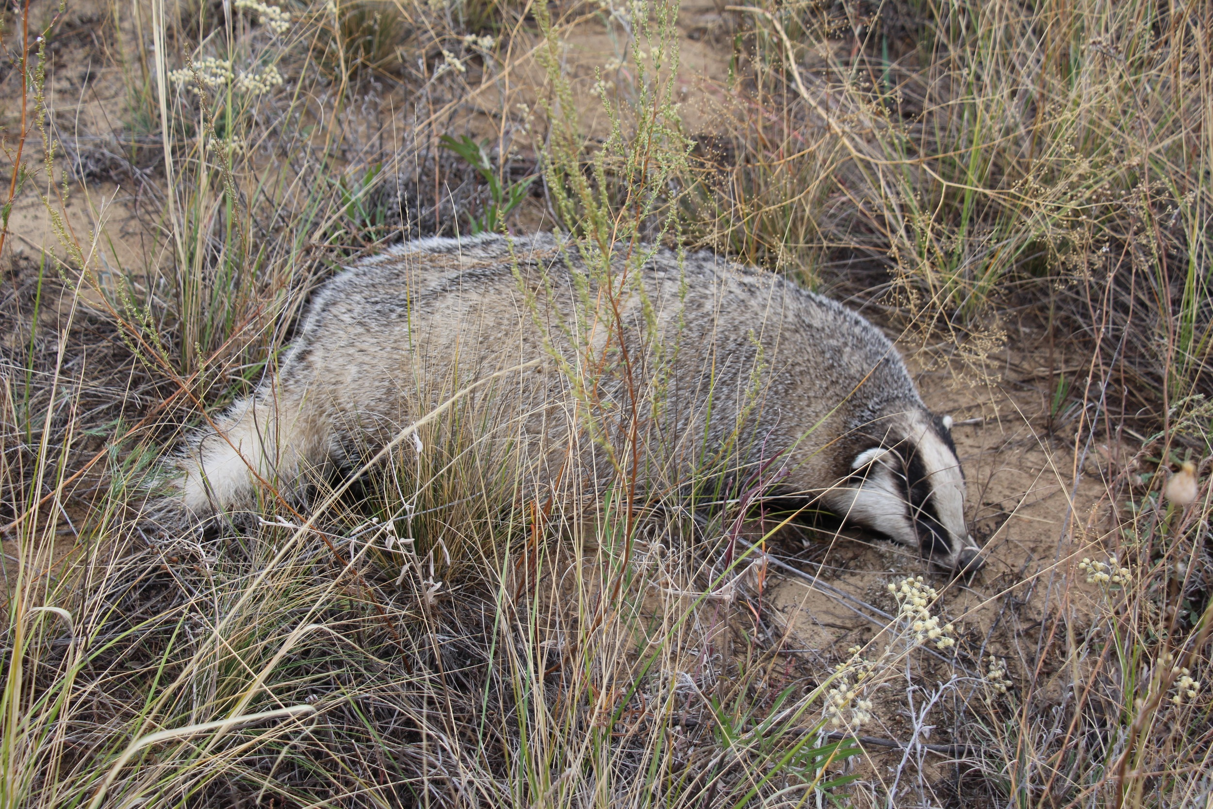 European Badger in Narzum