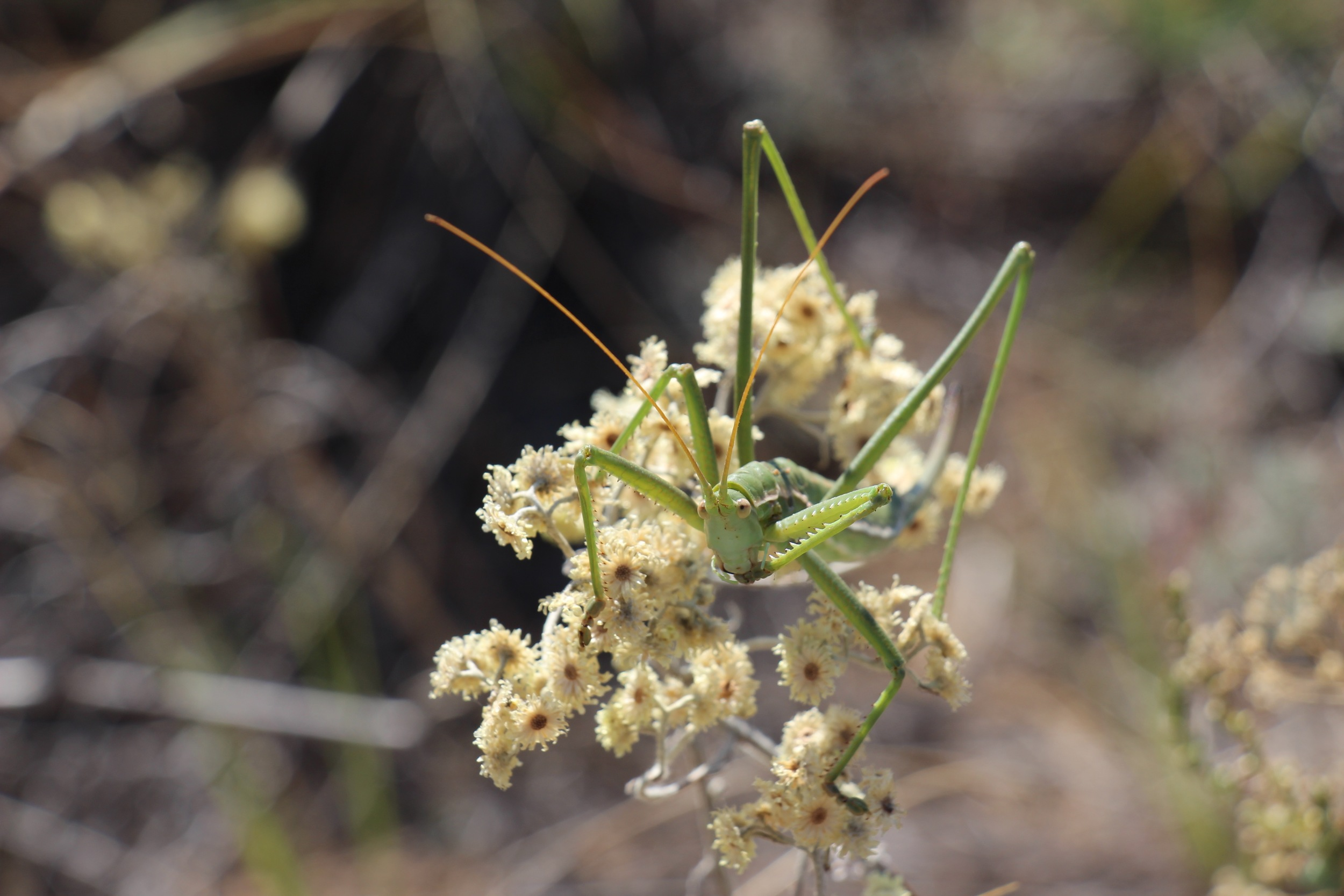 Threatened grassland Preying Mantis
