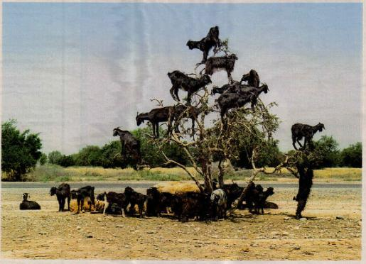 goat_tree.JPG