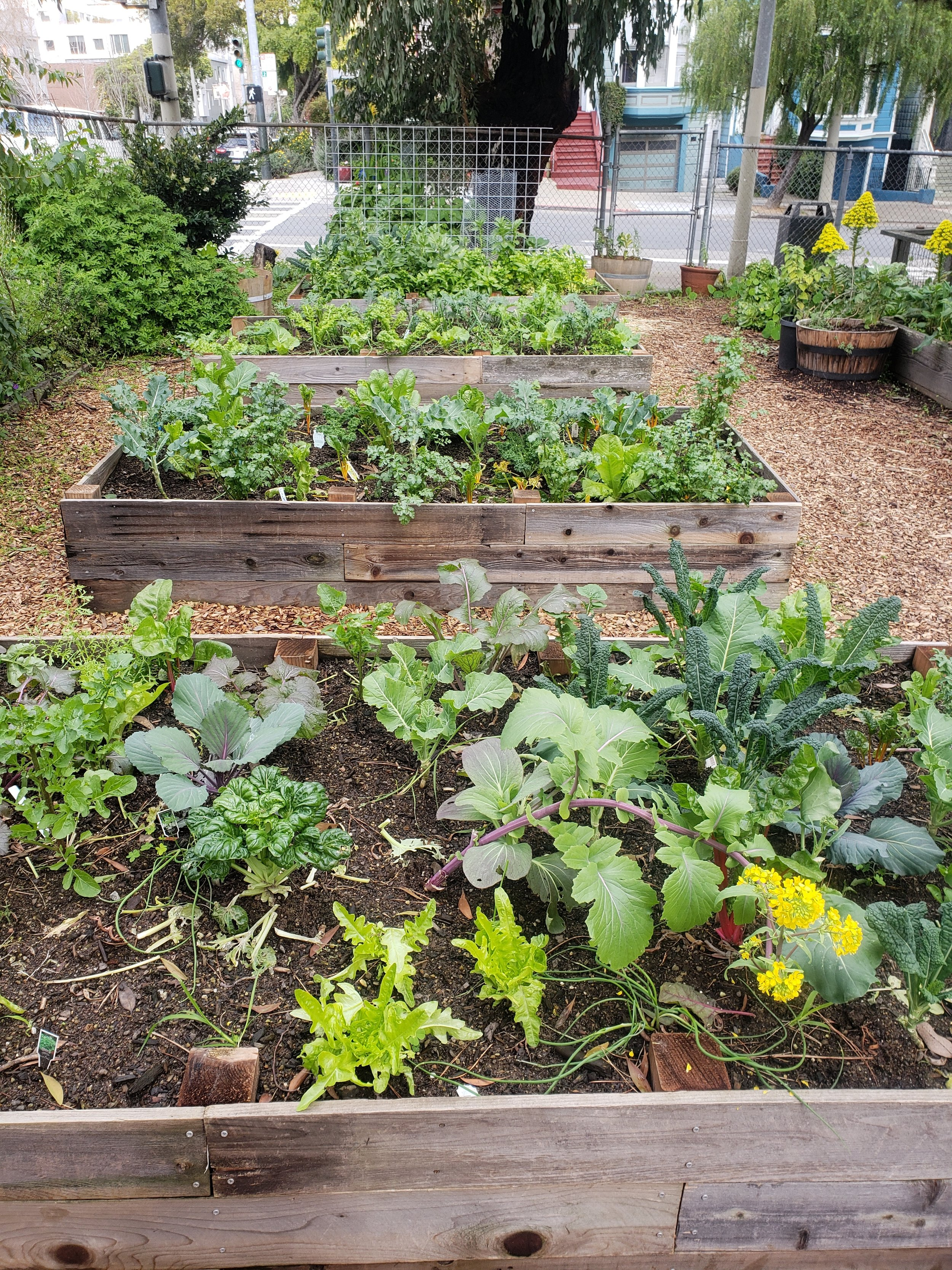 Photos: A bountiful community garden installed by Planting Justice's Community Justice Garden Program in San Francisco (occupied Ohlone territory) at Farming Hope pictured in three consecutive months.  Photos courtesy of Farming Hope & brontë velez