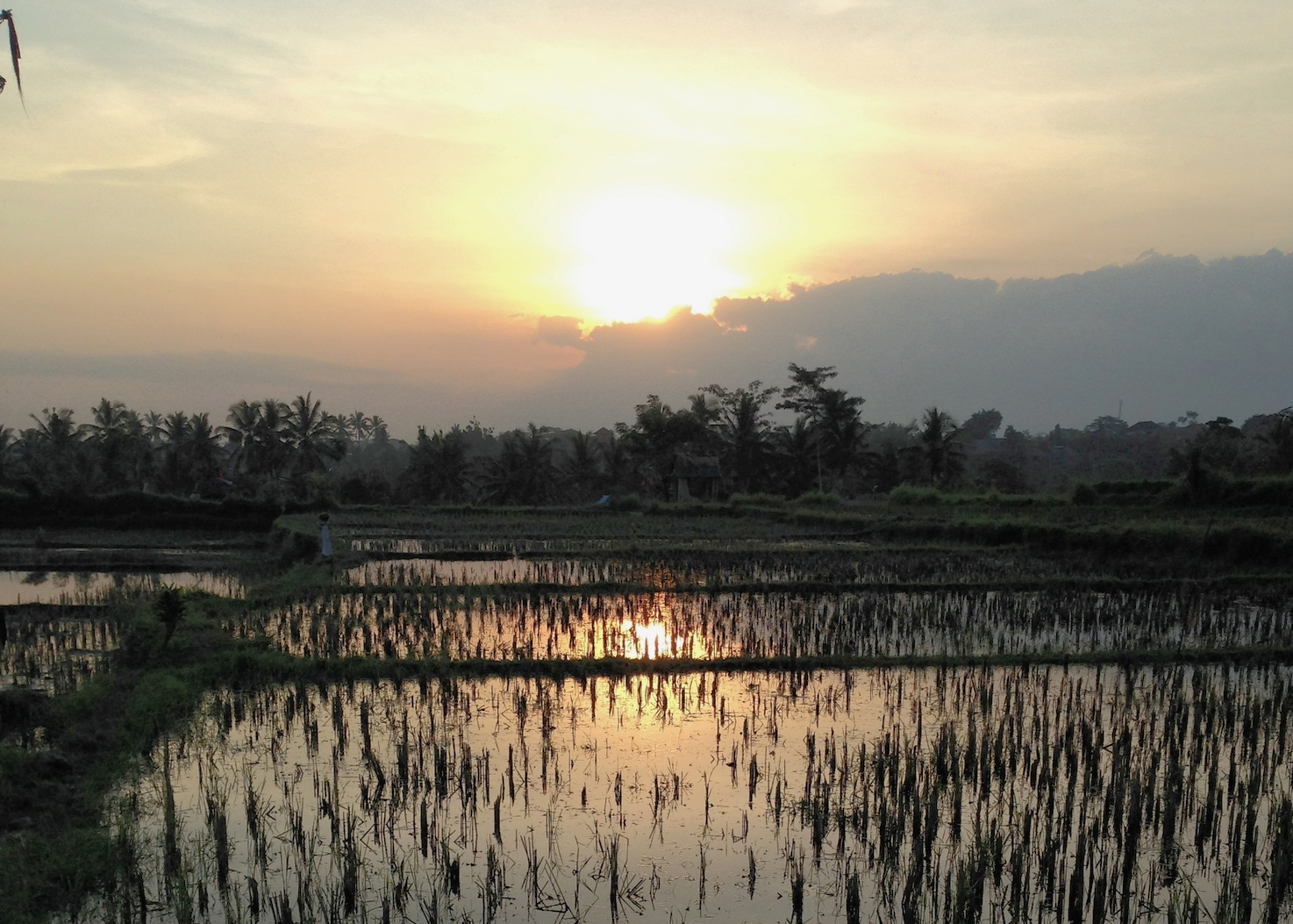 sunset over Sari Organik rice fields