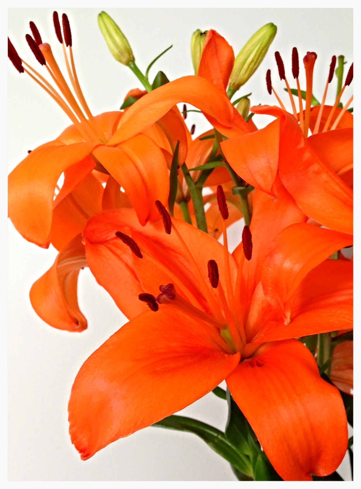 lovely lilies in bloom