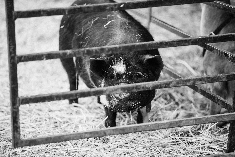 hog-portrait-at-legacy-days-heber-utah