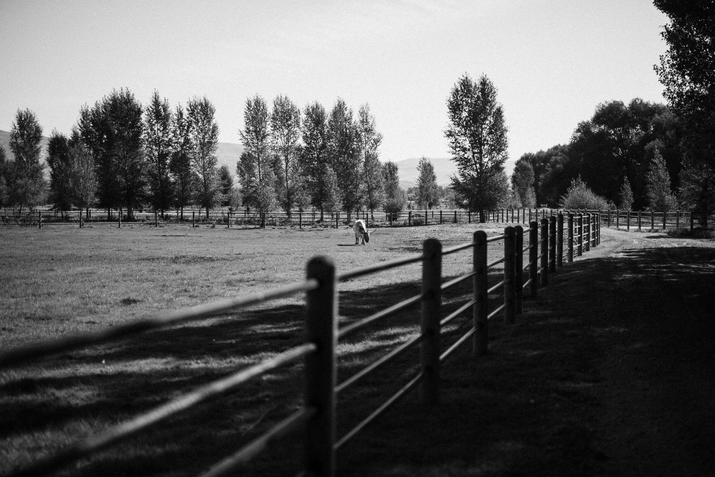 steer-in-field-at-legacy-ranch-2016-in-heber-ut