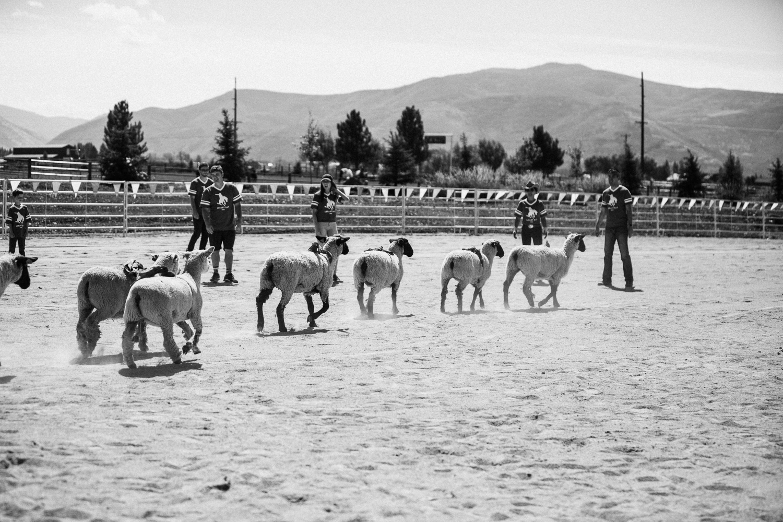 sheep-at-rodeo-arena-legacy-ranch-heber-utah