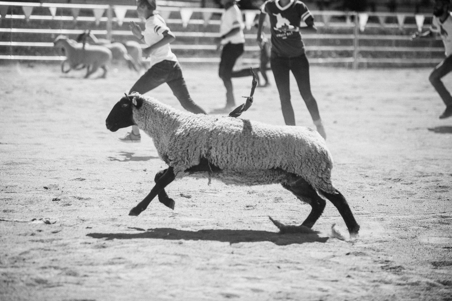 sheep-at-legacy-days-labor-day-family-gathering-park-city-ut