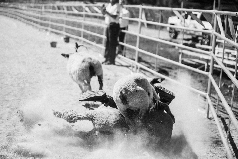 action-shot-of-man-tackling-sheep-at-bandana-roundup-legacy-days-heber-utah