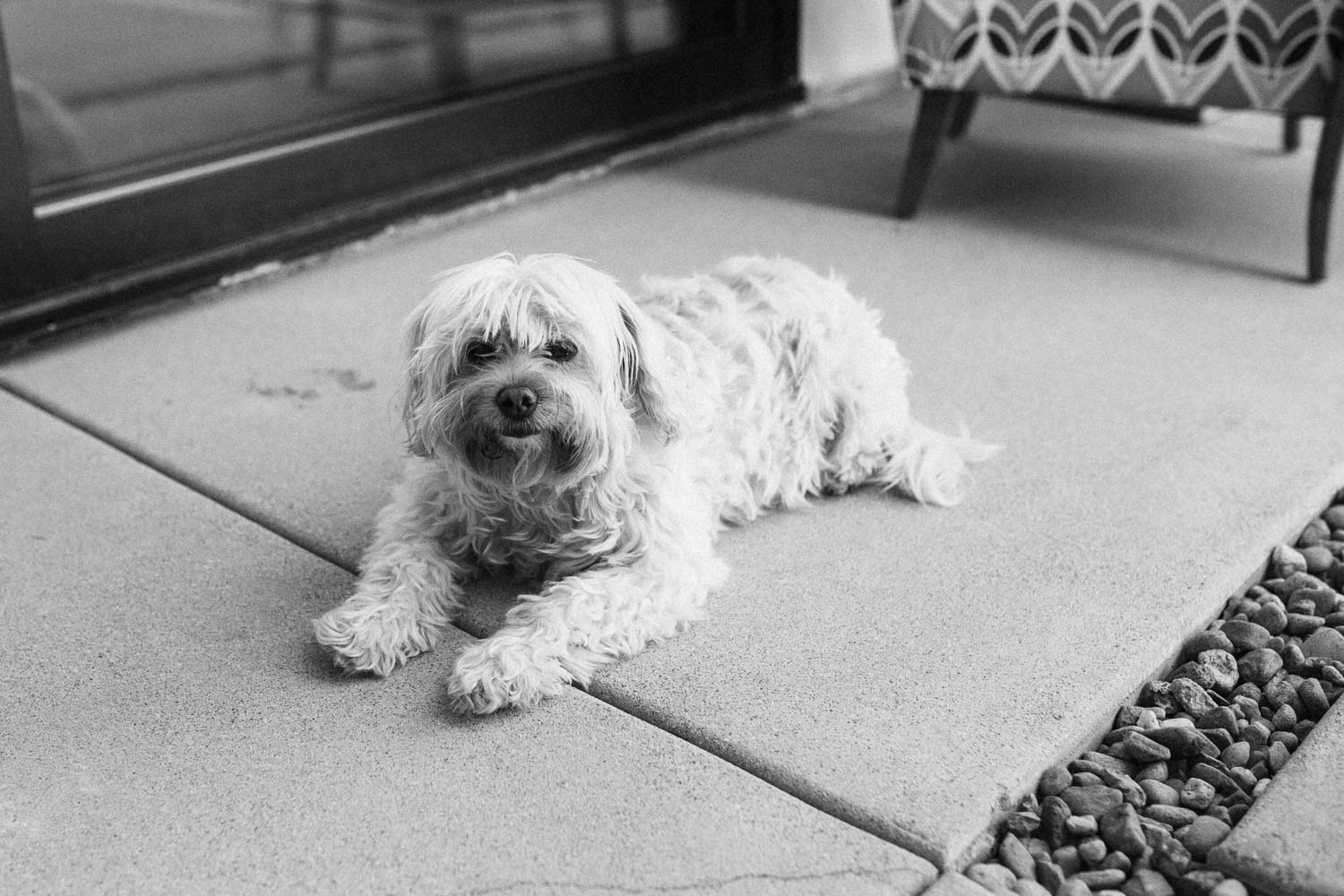 candid-balck-and-white-photo-of-family-dog-looking-at-the-camera-encinitas-california