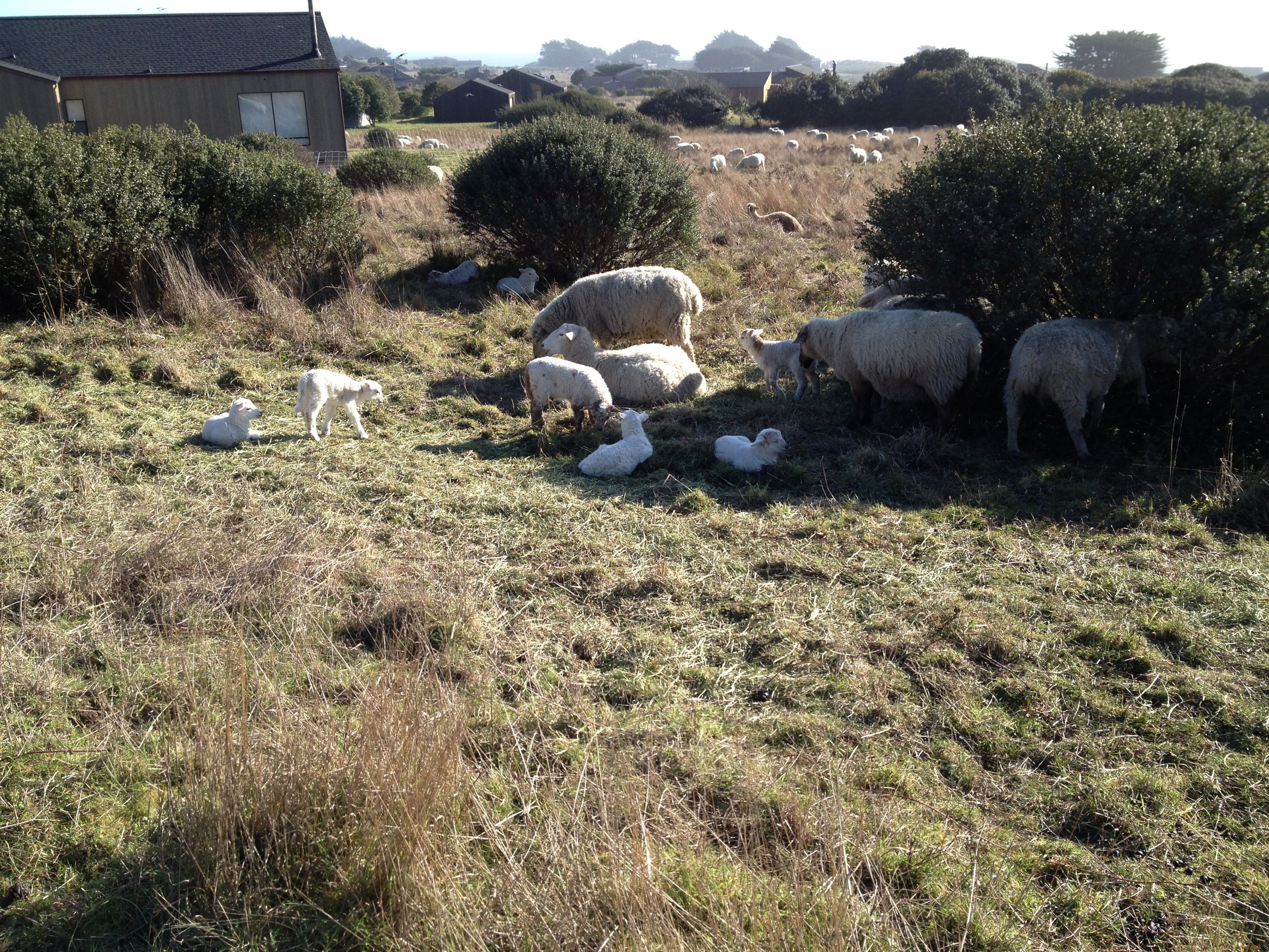 """Natural"" fire protection at Sea Ranch.  Sheparded resident sheep/goats herd rotates from area to area, returning every 6 months to the same acreage."
