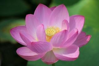 pink.lotus.40pct.jpeg