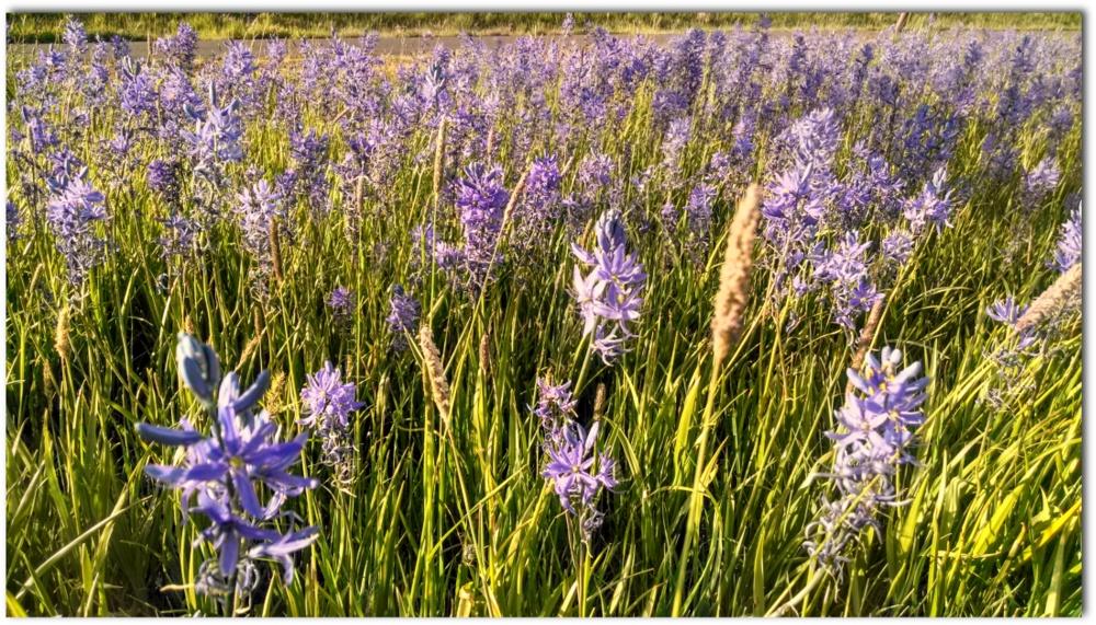 Camus field next to the Latah Trail.