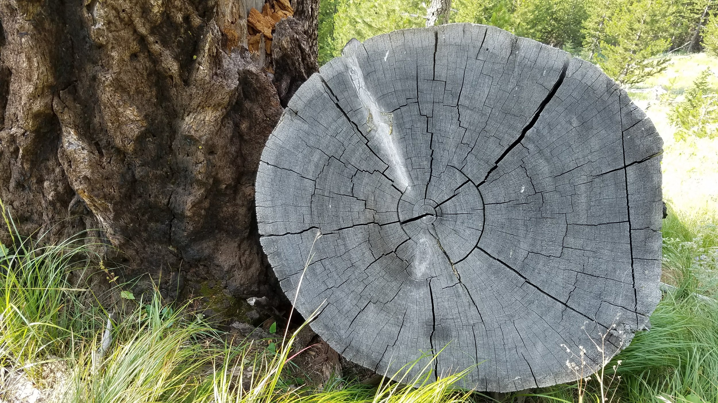 Tight growth rings.