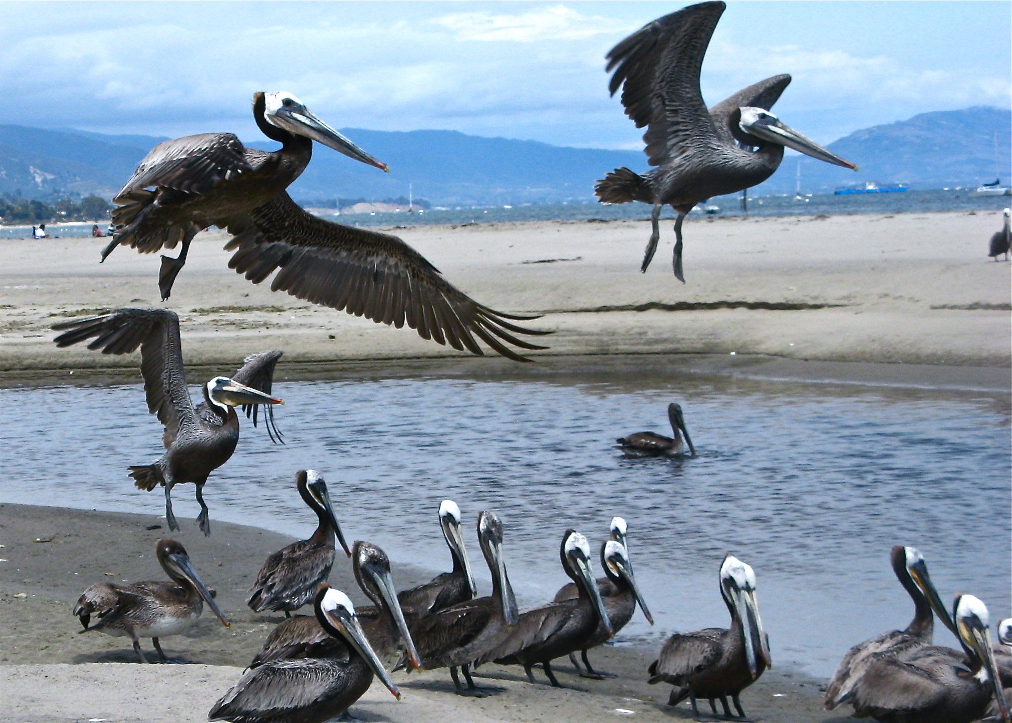 Pelican Klatch