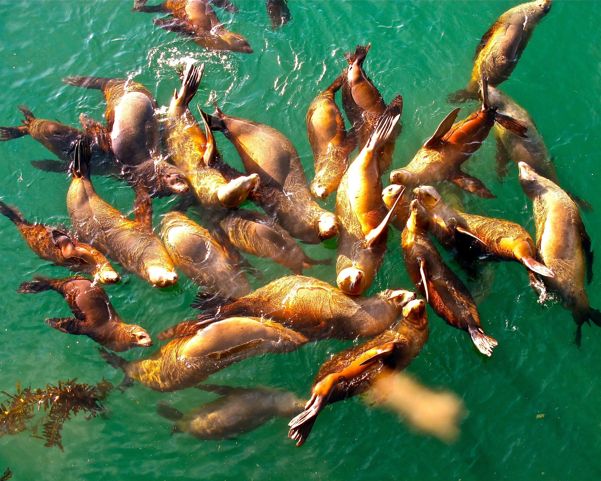 Seal Raft at Sunrise