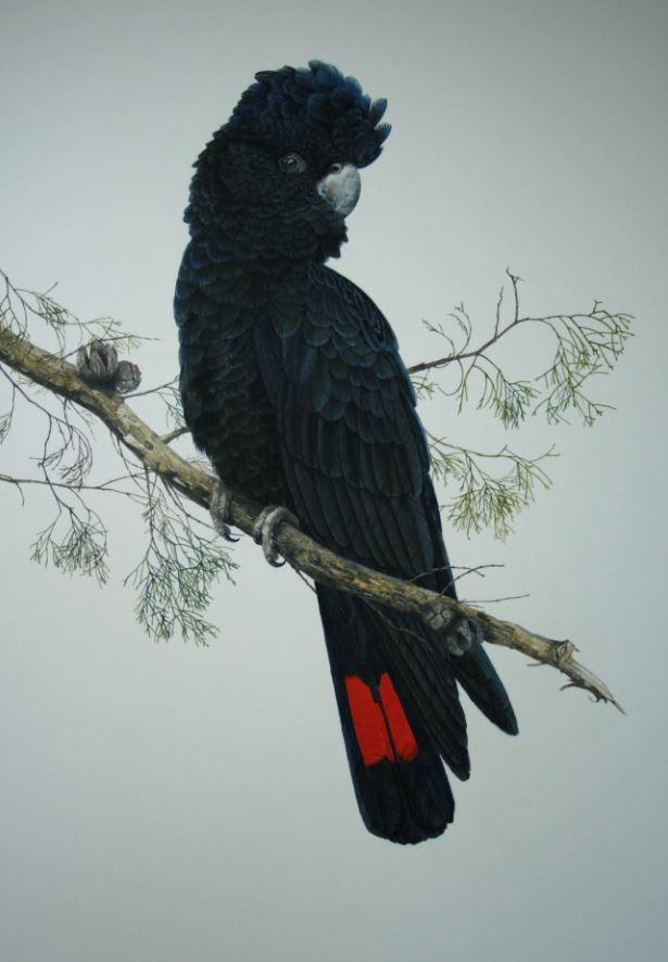BIG RED (BLACK COCKATOO)