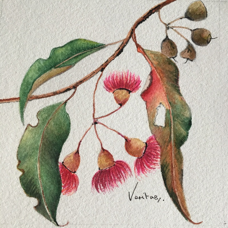 CORYMBIA FICIFOLIA I (RED FLOWERING GUM)