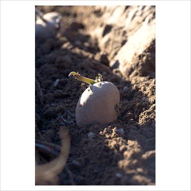Vår  Poteter kan settes når jorda har tørket opp