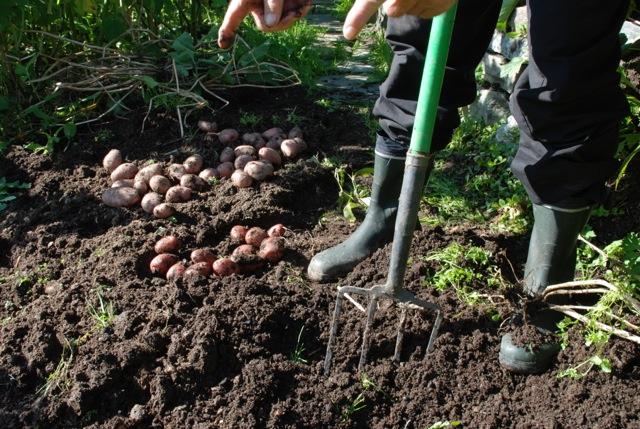Forsiktig  Avlingen jekkes varsomt opp med et greip