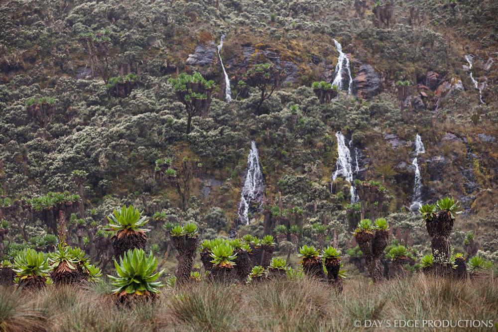 Waterfalls and senecio trees ( Dendrosenecio adnivalis ) in Rwenzori Mountains National Park, Uganda.