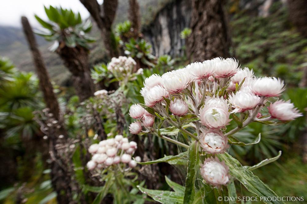 Everlasting flowers ( Helichrysum  sp.) in Rwenzori Mountains National Park, Uganda.