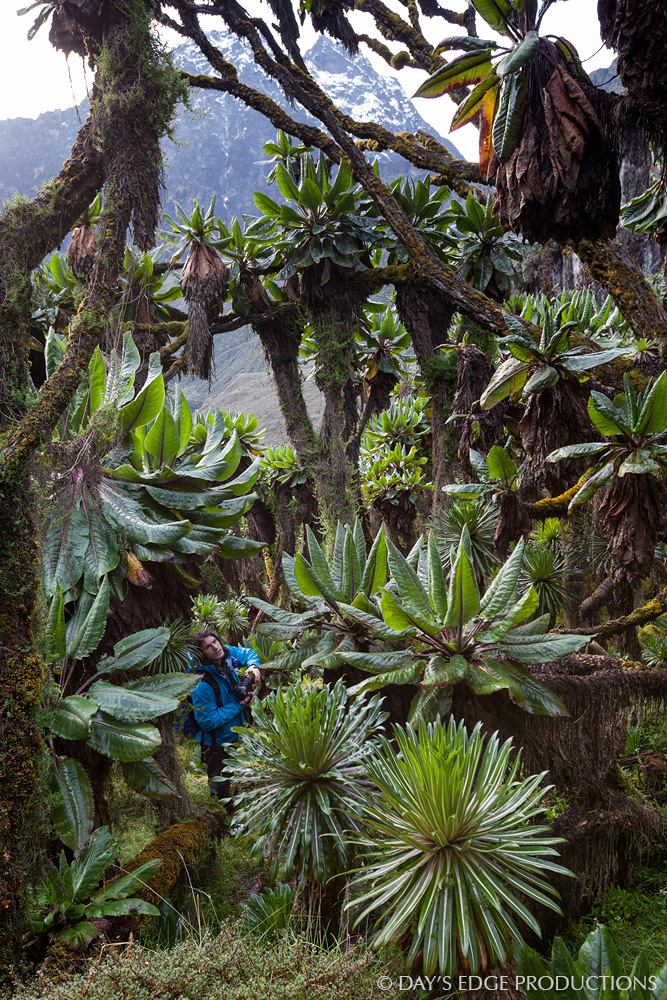 Senecio trees ( Dendrosenecio adnivalis ) dwarf biologist and photographer Nate Dappen in the upper Bujuku Valley in Rwenzori Mountains National Park, Uganda.