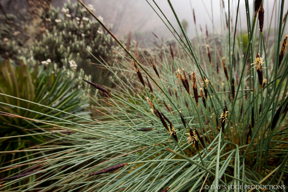 An endemic tussock grass ( Carex runssoroensis ) in Rwenzori Mountains National Park, Uganda.