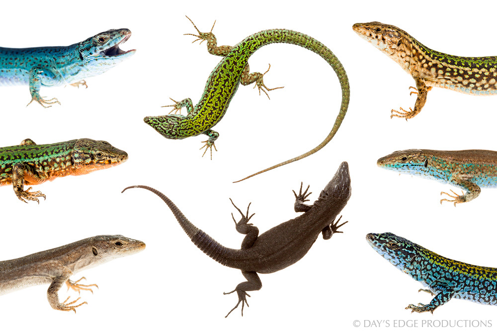 A composite of dorsal and lateral views of adult male Ibiza Wall Lizards ( Podarcis pityusensis ), showing the diversity in this species among islands in the Pityusic Archipelago. Photographed for the Meet Your Neighbours project.