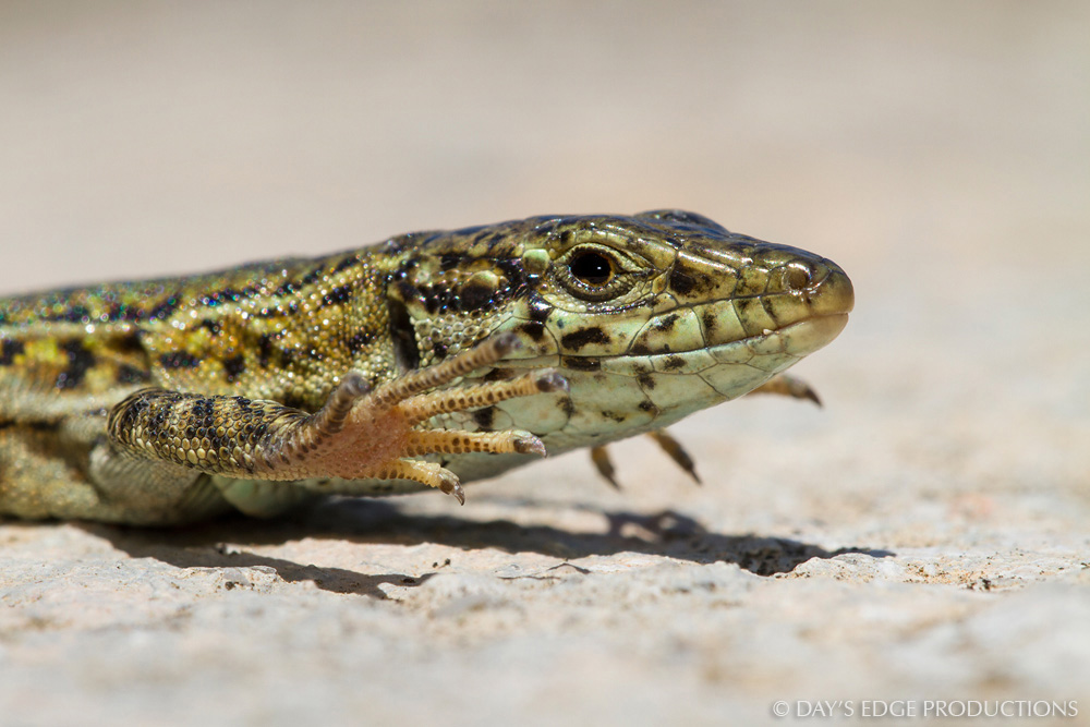 A male Ibiza wall lizard ( Podarcis pityusensis ) lifts its feet to keep them cool in the midday sun. Photographed on the island of Isla des Porcs, in Spain's Balearic Islands.