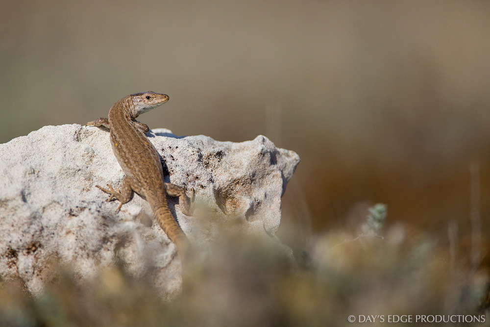 A female Ibiza wall lizard ( Podarcis pityusensis formenterae ). Photographed on the Trucadors peninsula on the island of Formentera, in Spain's Balearic Islands.
