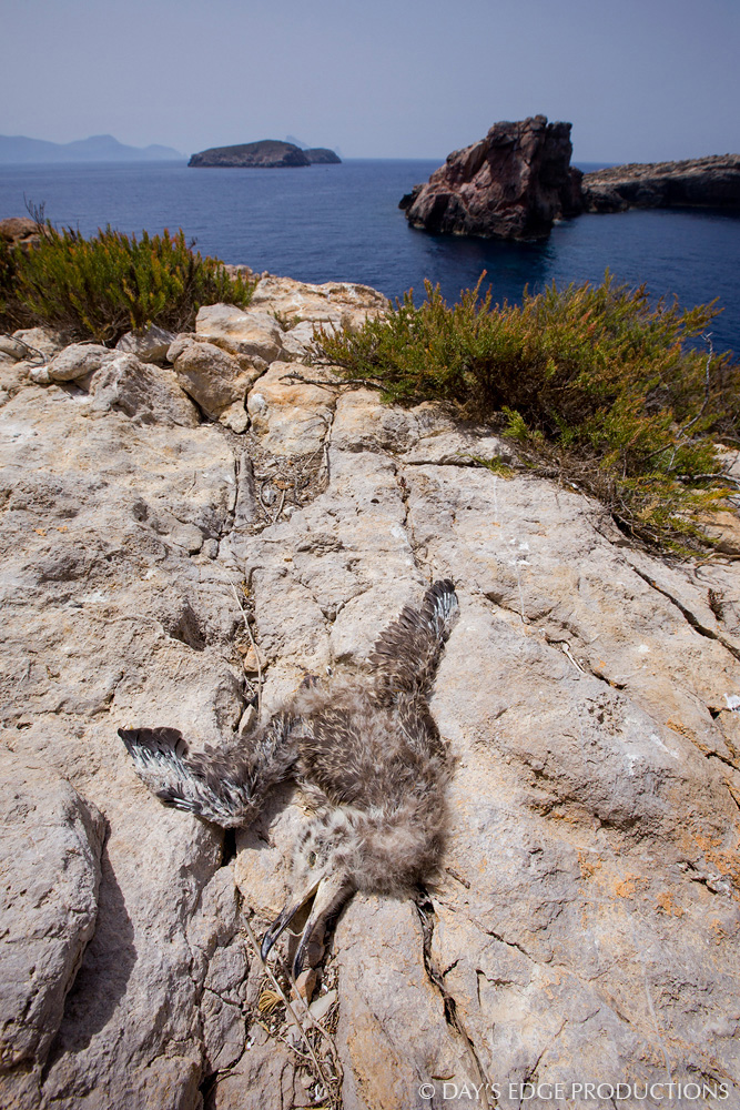 A dead Audouin's Gull ( Icthyaetus audouinii ) chick on the small island of Escull Vermell, near Ibiza in Spain's Balearic Islands.