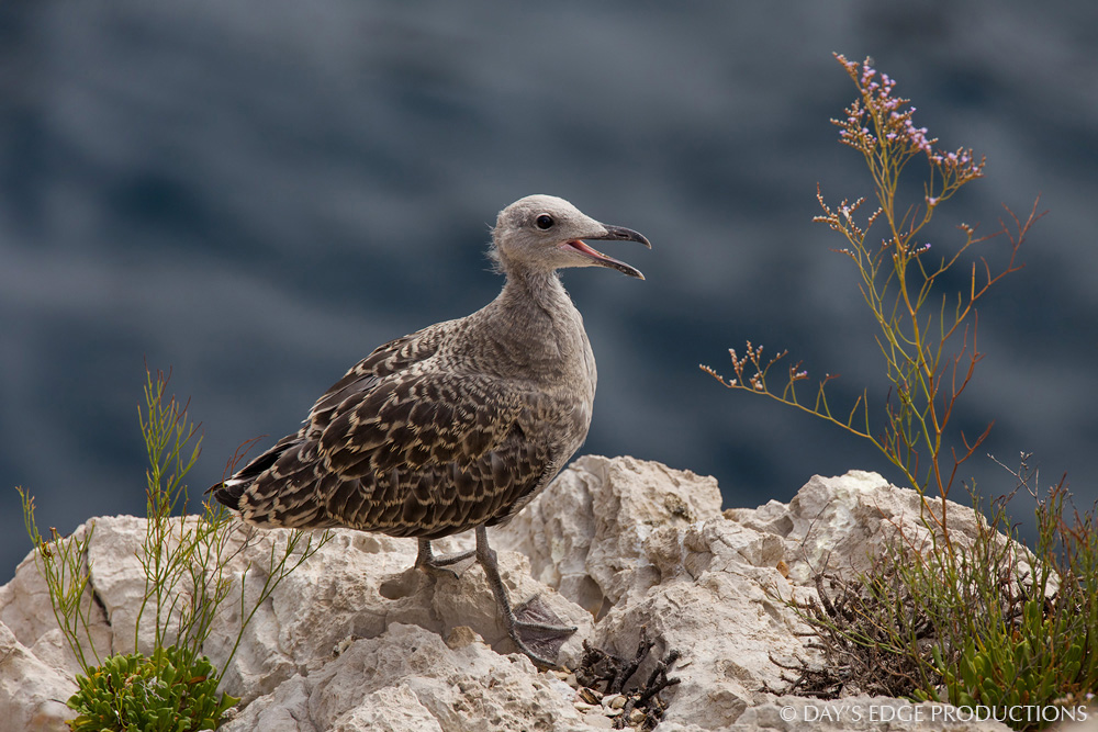 An Audouin's Gull ( Icthyaetus audouinii ) chick on the small island of Cala Salada, near Ibiza in Spain's Balearic Islands.