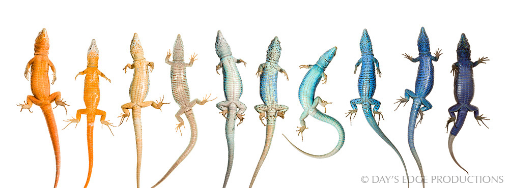 A composite of ventral views of adult Ibiza Wall Lizards ( Podarcis pityusensis ), showing the diversity in this species among islands in the Pityusic Archipelago. Photographed for the Meet Your Neighbours project.