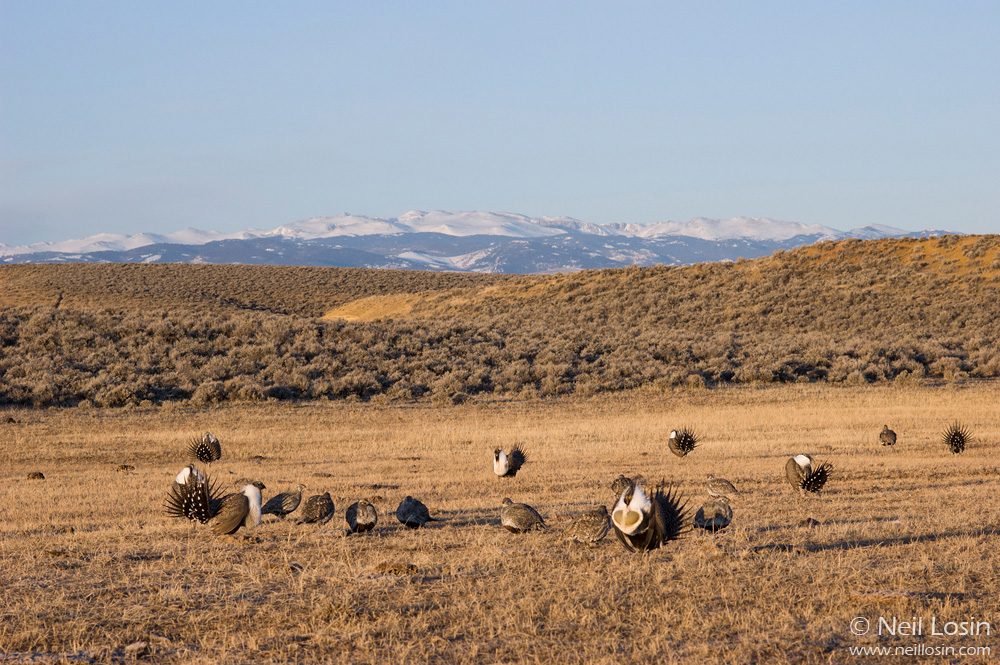 Male and female Greater Sage-Grouse ( Centrocercus urophasianus ) on a grouse display ground, or lek, near Hudson, Wyoming.