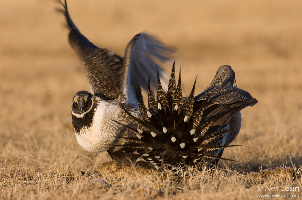 Two male Greater Sage-Grouse ( Centrocercus urophasianus ) fight on a grouse display ground, or lek, near Hudson, Wyoming.