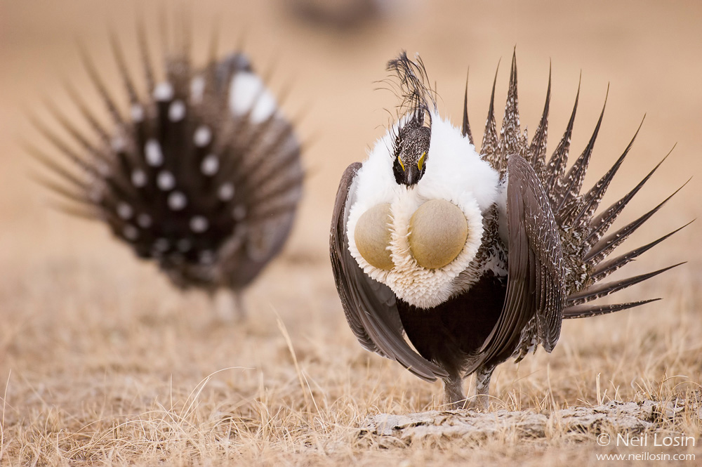 Two male Greater Sage-Grouse ( Centrocercus urophasianus ) display on a grouse display ground, or lek, near Hudson, Wyoming.