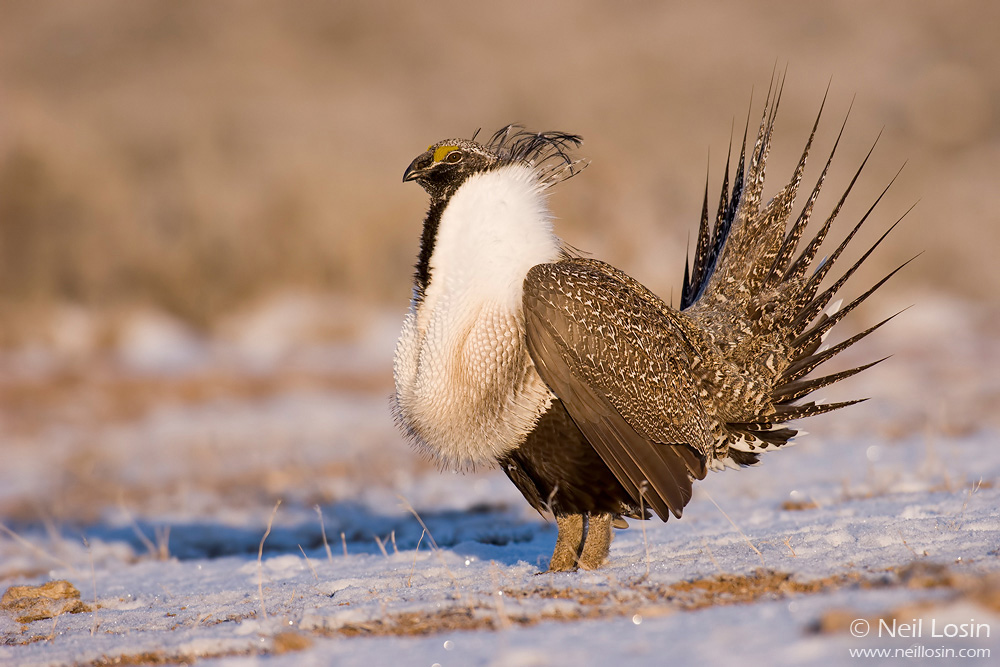 A male Greater Sage-Grouse ( Centrocercus urophasianus ) on a grouse display ground, or lek, near Hudson, Wyoming.