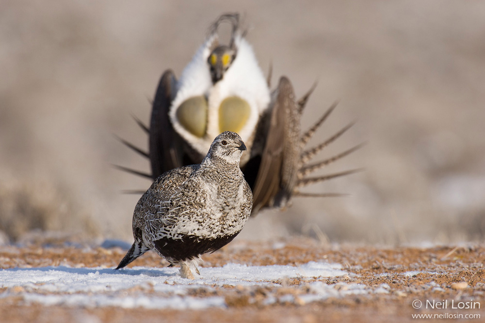A male Greater Sage-Grouse ( Centrocercus urophasianus ) courts a female on a grouse display ground, or lek, near Hudson, Wyoming.