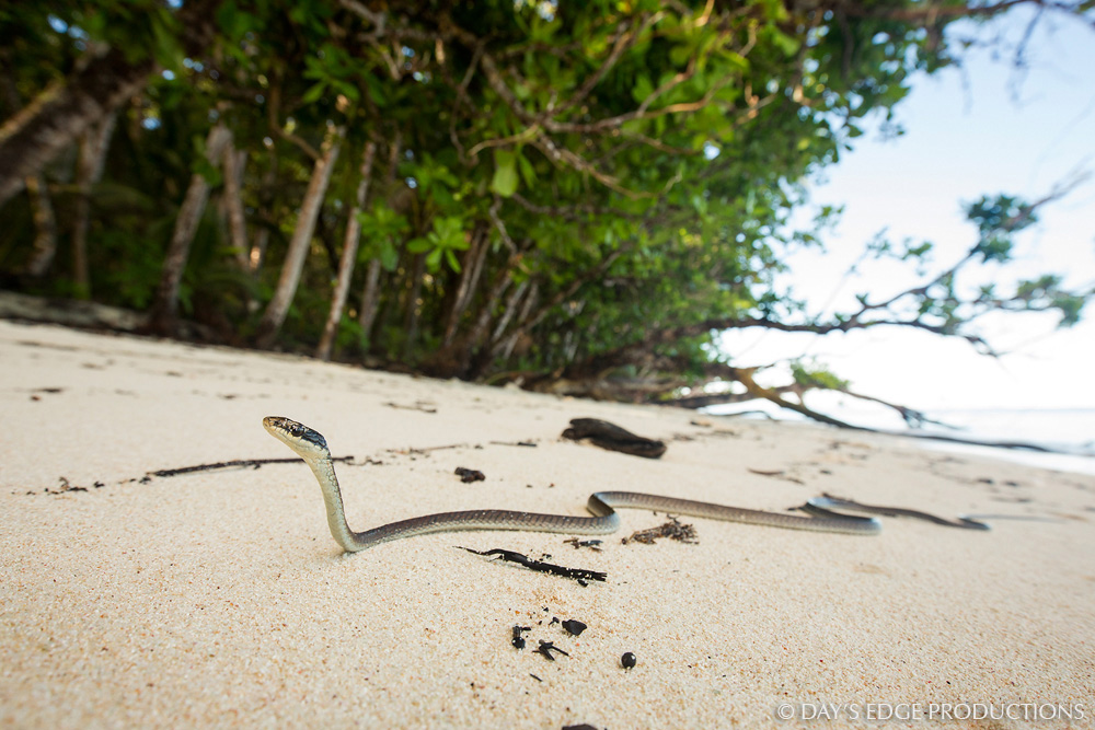 A Northern Tree Snake ( Dendrelaphis calligaster ) on the beach on the remote Three Sisters island chain just north of Makira, Solomon Islands.