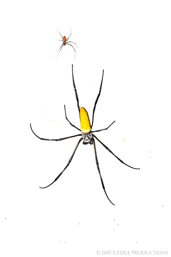 From the Solomon Islands, a huge female and tiny male  Nephila pilipes  share the same web, where he makes a living as a kleptoparasite (he steals food from the female). Photographed for the Meet Your Neighbours project.