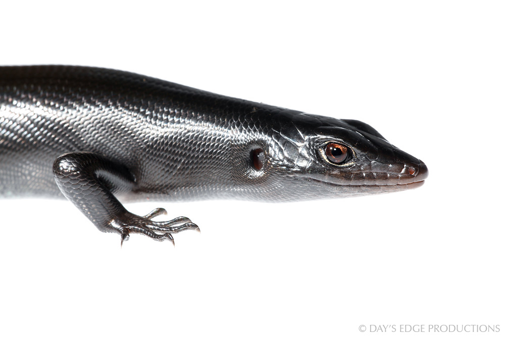 A black skink ( Emoia nigra ) on Santa Catalina Island in the eastern Makira Province, Solomon Islands. Photographed for the Meet Your Neighbours project.