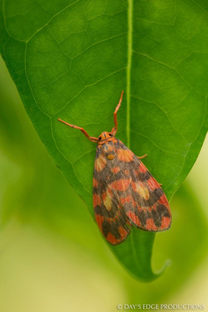 A colorful moth on Santa Catalina Island, Solomon Islands.