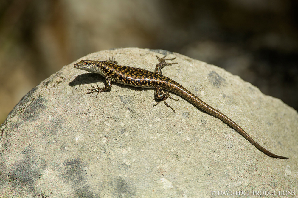 The littoral skink (Emoia atrocostata) is a common inhabitant of rocky coasts in the Solomon Islands and throughout the south Pacific.