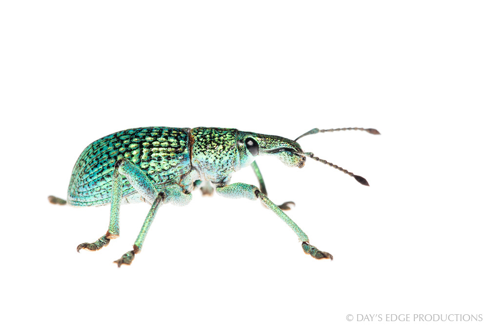 An as-yet unidentified weevil, possibly a new species, discovered during a trip to remote Ulawa Island in the Makira Province, Solomon Islands. Photographed for the Meet Your Neighbours project.